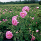 Bulgaria produces 40-50% of world attar of roses