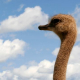 The ostrich farm in Chokmanovo becomes tourist attraction