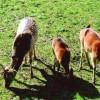 Two pedigree deer arrived in the Zoo in Aytos