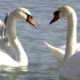 The swans arrived in Varna