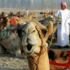 The camels begin their journey