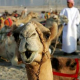 The camels of Kalmykia will reach Bankia on St. Todor's day
