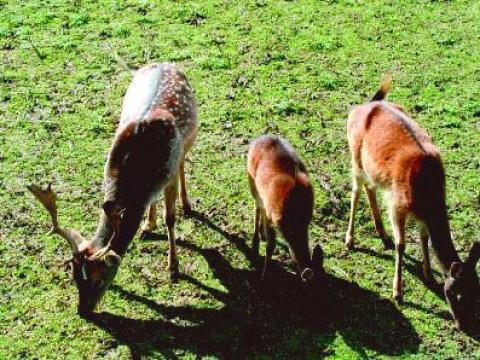 Two pedigree deer arrived in the Zoo in Aytos